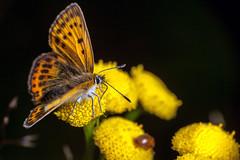 Copper Wings, Pt. 2 - _TNY_1979 (Calle Söderberg) Tags: macro canon canoneos5dmarkii canon5dmkii canonef100mmf28usmmacro canon5dmarkii 5d2 flash meike mk300 glassdiffusor raynox dcr250 insect leipidoptera butterfly fjäril guldvinge vitfläckigguldvinge copper scarcecopper lycaena virgaureae juvelvinge papilionoidea yellow orange spots blackbackground blackspots tansy renfana tanacetum vulgare lycaenidae lycaeninae gossamerwingedbutterfly f19