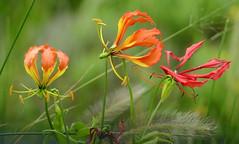 Flame Lilies (Gloriosa superba) (berniedup) Tags: flamelily gloriosasuperba isimangaliso taxonomy:binomial=gloriosasuperba colchicaceae