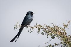 HoskoteBirding_Jan2019_D75_8556 (mgcs) Tags: birds indianbirds karnataka nikond750 nikkor200500 wild handheld