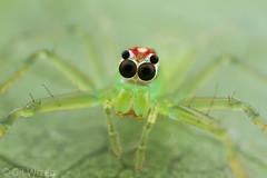 Lyssomanes-staring-back (Venus Optics - Laowa) Tags: 2018 arachnida colombia february2018 lyssomanes salticidae santamarta taironaka female jumpingspiders riodondiego spider