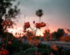 Street - Photo Flower Challenge (Cameron McGhie) Tags: arizona mcghie mcghiephotography new nikon nikond5300 light lightroom hdr art artsy fun arty maniacmcghie cameroncmghie edited streetphotography cameronmcghie cameron 2019 flower orange sunset streetphotos sunrise morning midnight