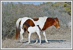 TB7_5057 susie sole and foal with frame (tbullipoo) Tags: pony foal assateague