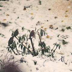 Blick aus dem Fenster in den Winter Vogel Garten - 21. Januar 2019 - Tarbek - Schleswig-Holstein - Deutschland (torstenbehrens) Tags: olympus penf 7xef53213mm f28 blick aus dem fenster den winter vogel garten 21 januar 2019 tarbek schleswigholstein deutschland