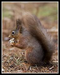 IMG_0045 Red Squirrel (Scotchjohnnie) Tags: redsquirrel sciurusvulgaris squirrel squirrelphotography mammal rodent wildanimal wildlife wildlifephotography wildandfree nature naturephotography canon canoneos canon7dmkii canonef70200mmf28lisiiusm scotchjohnnie