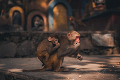 YOBEL_2018-09-15_NPL_12605.jpg (yobelprize) Tags: 2018 monkey asia muchang yobelmuchang monkeys monkeytemple animal holy outdoors macaque temple rhesusmacaque nikon sacred outdoor oldworld mammals swayambhunath buddhism furry southasia wildlife kathmandu tibetan nepal animals rhesus nikond810 mammal yobel stupa npl