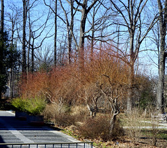 Arboretum in winter: Intro Garden North Court willow border, US National Arboretum, Washington, DC (jmlwinder) Tags: inwinter introgarden salixscarcuzamscarletcurlscorkscrewwillow usnatonalarboretum