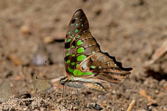 Graphium agamemnon - the Tailed Jay (BugsAlive) Tags: butterfly mariposa papillon farfalla 蝴蝶 dagvlinder 自然 schmetterling бабочка conbướm ผีเสื้อ animal outdoor insects insect lepidoptera macro nature papilionidae graphiumagamemnon tailedjay papilioninae wildlife doisutheppuinp ดอยสุเทพ chiangmai liveinsects thailand ผีเสื้อในประเทศไทย thailandbutterflies bugsalive nikon105mm ผีเสื้อหนอนจำปีธรรมดา