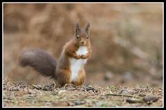 IMG_0057 Red Squirrel (Scotchjohnnie) Tags: redsquirrel sciurusvulgaris squirrel squirrelphotography mammal rodent wildanimal wildlife wildlifephotography wildandfree nature naturephotography canon canoneos canon7dmkii canonef70200mmf28lisiiusm scotchjohnnie