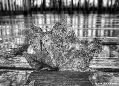 Trapped between the boards (mswan777) Tags: ansel monochrome white black texture detail macro mobile iphone iphoneography apple michigan stevensville outdoor nature weather autumn maple tree leaf wood wet rain