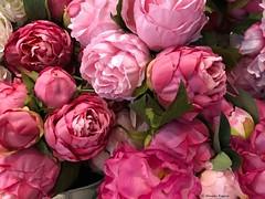 pivoine-rose© (alexandrarougeron) Tags: photo alexandra rougeron fleur plante couleur paris ville urbain flickr