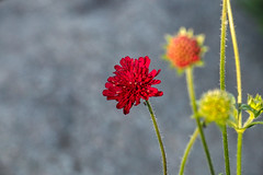 3 Stadien (Friedhelm Dötsch) Tags: blümkes gruga blumen essen deutschland flowers germany