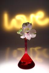 still-life 16-11-2018 002 (swissnature3) Tags: stilllife flowers light macro love