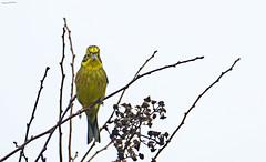 685.365-320 Yellow Hammer (ianbartlett) Tags: outdoor mist murk wildlife nature birds seal bull water river pylons colour loght