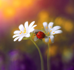Stellaria ✨ (ElenAndreeva) Tags: flower flora nature macro colors magic ladybug insect bug sun summer light garden amazing bokeh purple spring stellaria colorful sweet dream focus forest canon beauty best fantasy red composition natural lights like likes forrest andreeva