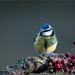 KUS850-2649 (Weinstöckle) Tags: blaumeise vogel