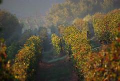 Filari 13 Langhe 18 (zanf89) Tags: neive alba langhe piemonte colline vino barolo nocciole