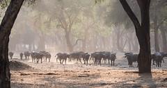 Cape Buffalo (Tris Enticknap) Tags: africa lowerzambezi zambia capebuffalo synceruscaffer
