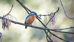 Kingfisher (JS_71) Tags: nature wildlife nikon photography outdoor 500mm bird new autumn see natur pose moment outside animal flickr colour poland sunshine beak feather nikkor d7500 wildbirds