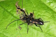 Anoplodera sexguttata (Fabricius 1775) = Leptura sexguttata Fabricius, 1775. (chug14) Tags: macro insect nature animalia arthropoda hexapoda insecta coleoptera cerambycidae lepturinae lepturasexguttata anoploderasexgutata