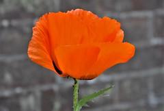 Bold. (pstone646) Tags: flower orange bloom poppy nature wall flora colour petals bokeh