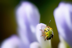 macro - insecte 11 (thierrybalint) Tags: macro insecte fauneflore nikon nikoniste flore