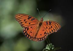 Just Visiting (ACEZandEIGHTZ) Tags: butterfly bokeh flying insect nikon d3200 orange agraulis vanillae gulf fritillary nature wings macro closeup