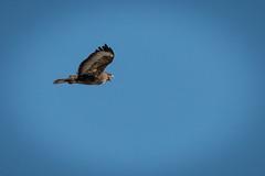 BUZZARD  (2 of 5) (Habitualmurph) Tags: wildlife nature commonbuzzard ireland canon70d canon100400 buzzard predatorybird