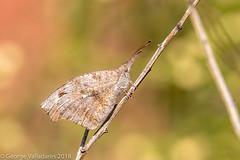 American Snout (gvall66) Tags: arizona az d500 mystichills nikon nikon200500 sedona american snout americansnout butterfly