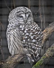 Barred Owl (tim.perdue) Tags: ohio bird sanctuary aviary raptor avian feathers plumage rehabilitation center nature preserve mansfield nikon d5600 nikkor 18140mm animal barred wildlife