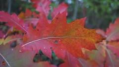 Feuille d'Automne... (passionpapillon) Tags: macro feuille automne forêt arbre rouge red passionpapillon 2018