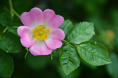 Dog Rose (Rosa canina) (Seventh Heaven Photography **) Tags: dog rose rosa canina pink flower wild flora bloom nikon d3200