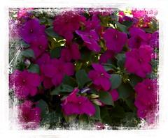 A profusion of Bizzy Lizzie's (Audrey A Jackson) Tags: canon60d busylizzie nature colour macro