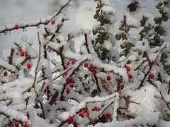 First Snow_9480 (smack53) Tags: smack53 canon powershot sx530hs canonpowershotsx530hs winterscenery snow snowfall snowscape snowy snowstorm autumn autumnseason fall fallseason november westmilford newjersey