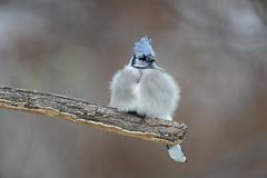 Blue Jay-41143.jpg (Mully410 * Images) Tags: jay birdwatching birding backyard bluejay birds birder bird
