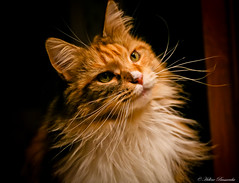 IMG_2255-1 (Helene Bassaraba) Tags: mainecoon coth coth5 bestofcats