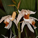 Coelogyne Mem. Louis Forget – Carl Wood