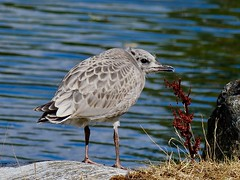 Young Gull (kristinakjell) Tags: gull bird animal waterfowl water rock flower lake