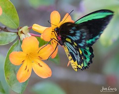 Common Green Birdwing Butterfly (jklewis4) Tags: colorful lepidoptera butterflyworld florida closeup macro insect butterfly