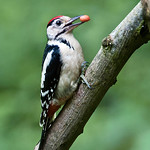 HC - PDI. League 3.. Great Spotted Woodpecker with Nut by Andrew C M Chu