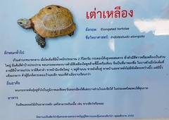 Indotestudo elongata (Blyth, 1853) Testudinidae-Elongated tortoise-เต่าเหลือง (SierraSunrise) Tags: animals aquarium esarn isaan nongkhai reptiles thailand turtles