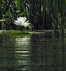 Waterlily – Nénuphar (P9_DSCN9279-1PE-20180816) (Michel Sansfacon) Tags: waterlily nénuphar nikoncoolpixp900 parcnationaldesîlesdeboucherville parcsquébec flore
