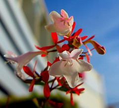 Flor, Flowers (angelalonso4) Tags: canon powershot g1 x mark ii 125625mm ƒ40 125 mm 13200 200 alon2018 rojo