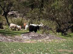 181112-1308_0244_041NamoiRiverWarrabahNationalParkLx (Terry Cooke Photographs) Tags: australia nsw namoiriver warrabahnationalpark wildgoats