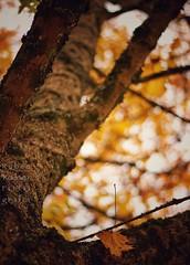 Autumn leaves (Mister Blur) Tags: autumn leaves automne otoño fall golden leaf tree cour cheverny chateau castle laloire france shallow depthoffield dof profundidaddecampo distanciafocal bokeh blur background snapseed eric clapton nikon d7100 50mm f18 rubén rodrigo fotografía nikkor