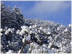 Tiefkühläpfel beim Auftauen ! ;-) / Frozen apples defrosting ! ;-) (ursula.valtiner) Tags: winter schnee snow äpfel apples gefroren frozen sonne sun himmel sky blau blue flatz niederösterreich loweraustria austria autriche österreich