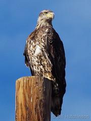 November 4, 2018 - A juvenile Bald Eagle in Adams County. (Bill Hutchinson)