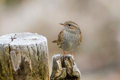 21122018-x3aDSC_6540 (Eyas Awad) Tags: passerascopaiola prunellamodularis eyasawad nikond800 nikond4 nikond500 sigma500f45 nikonafs300mmf4 tamron70200mmf28 nikkor200400mmf4 bird birds birdwatching wildlife nature