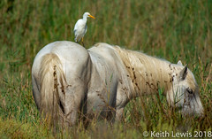 A wild white horse  of the Camargue (keithhull) Tags: horse whitehorses camargue bird egret provence france 2018