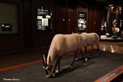 Oryx d'Arabie (tautaudu02) Tags: oryx arabie arabian musée museum histoire naturelle galerie évolution paris natural history gallery