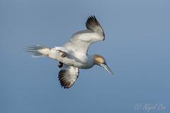 Free as a bird.... (NikonNigel) Tags: copyright©nigelcox copyrights gannet